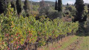 The road through hills of Tuscany, and grapevine with ripe bunches of grapes. Nature stock footage