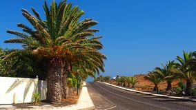The road on the horizon to the Costa Teguise. Alley of the canary date palm in the wind stock video