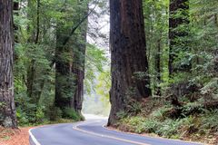 Road and Huge Redwood Trees. Road passing by huge redwood trees in Humboldt Redwoods State Park in California stock photos