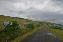 Road with hydrangeas, Azores, Portugal Royalty Free Stock Photography