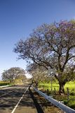 Road and Jacaranda tree in Hawaii. Stock Photography