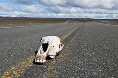 Road Kill on Patagonia Highway Stock Image