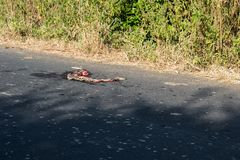 Road killed Snake Russels Viper. Road killed highly venous Snake Russels Viper Dabioa russeli in Dhar District near Indore Madhya Pradesh stock photo