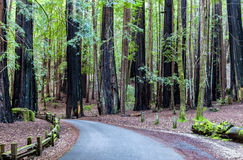 Road Through the Redwood Forest Royalty Free Stock Images