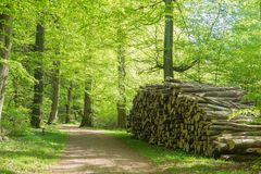A road in a beech forest in spring with a pile of timber, Denmark Stock Image