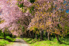 The road and line of pink blooming flower trees Stock Images