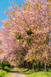 The road and line of pink blooming flower trees Stock Photography