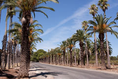 Road lined with date palms Stock Photo