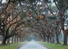 Road lined with oak trees Royalty Free Stock Photography