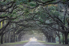 Road lined with oak trees Stock Photography