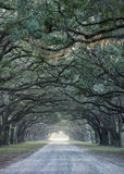 Road lined with oak trees Stock Images