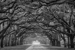 Road lined with oak trees Royalty Free Stock Photo