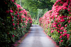 A road lined with Rhododendron Stock Photos