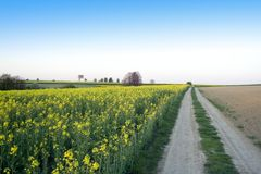 Road and lonely tree. Landscape - yellow field and lonely tree Royalty Free Stock Photo