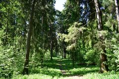 The road between the longitudinal rows of trees planted on both sides of the trees. Trees stretch up, the sky shines, the grass seems alive and real royalty free stock images