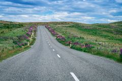 Road in Lupine Field, New Zealand. Road trip and tourism in New Zealand Royalty Free Stock Images