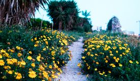 Road made of yellow flowers. Yellow flower road leading somewhere unknown on the beautiful summer evening Stock Photos