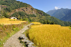 Road between Millet fields in The Himalayas Royalty Free Stock Photo