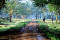The road in mysterious forest with few zebra. Royalty Free Stock Photos