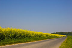 Road near a canola field. A canola field bordered by a straight road which is headed to a forest Stock Image