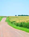 Road near corn fields Stock Photography