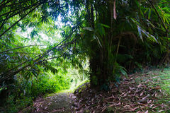 A road near Groove of young bamboo tree with leaves photo taken in Kebun Raya Bogor Indonesia. Java Royalty Free Stock Image