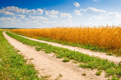 Road near yellow field of yellow wheat Stock Photos