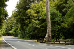Road through New Zealand native bush. A regional road cuts a peaceful path  through dense NZ Native Bush - forest - under a high canopy of mighty Kauri trees Royalty Free Stock Images