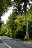 Road through New Zealand native bush. A regional road cuts a peaceful path  through dense NZ Native Bush - forest - under a high canopy of mighty Kauri trees Stock Photography