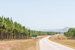 Road next to pine tree plantations. The R102 Regional Road between Humansdorp and Plettenberg Bay, next to pine tree plantations stock photos