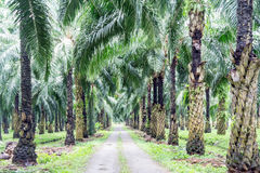 Road in the oil palm plantation. Main road in the oil palm plantation Stock Photos
