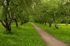Road in an old Apple orchard. Royalty Free Stock Photo