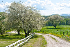 Road through an old orchard in spring. A narrow country road winds through an old apple orchard in Vermont Stock Photo
