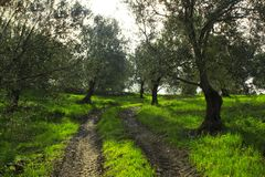 Road between olive trees. Forest road soil. stock photos