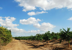 Road through orange orchard Royalty Free Stock Photo