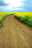 Road over yellow field. Cart-road over field with yellow flowers Royalty Free Stock Images