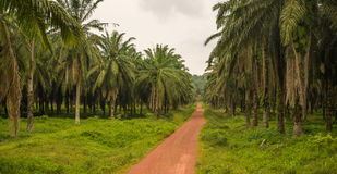 Road into palm tree plantation Royalty Free Stock Photos