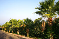 Road and palm trees Stock Images