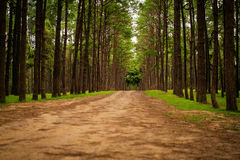 Road path in a pine tree forest royalty free stock photography