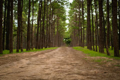 Road path in a pine tree forest stock photos