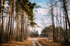 Road Path Walkway Through Forest. Nobody. Early Spring Or Late A. Countryside Road Path Walkway Through Autumn Forest. Nobody. Early Spring Or Late Autumn Mixed Royalty Free Stock Images
