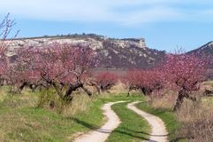 The road through the peach orchard in mountains, springtime. Spring blossoming - beautiful peach orchard, against background of mountains and blue sky, sunny Stock Photo