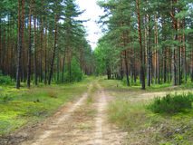 The road in pine forest. Woodland royalty free stock photo