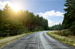 The road in a pine forest Royalty Free Stock Photography