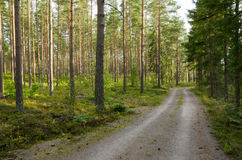 Road into a pine forest. Country road into a sunny pine forest royalty free stock image
