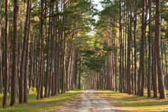 The road in pine forest. CHIANG MAI THAILAND Stock Image