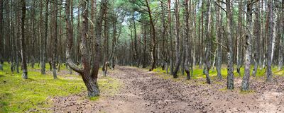 Road in the pine forest Stock Images