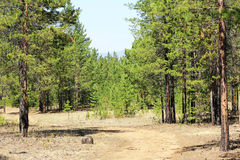 The road through the pine forest. Dirt road through the pine forest, on the horizon you can see the mountains Stock Photography