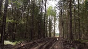 Road in a pine forest. Dirt roads stock video