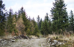 The road in a pine forest royalty free stock photo